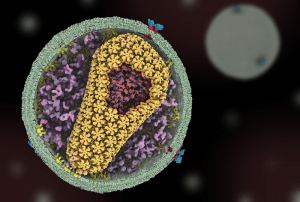 HIV infection model