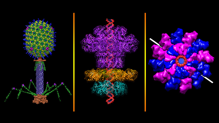 Three views of bacteriophage T4
