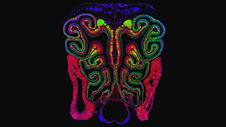 Mouse Nasal Cavity