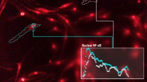 outlined macrophages in field of other cells. A graph is labeled Nuclear NF-kB