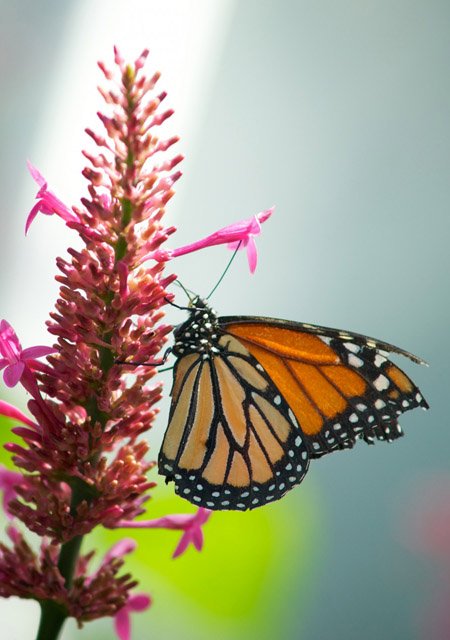 Monarch butterfly /
