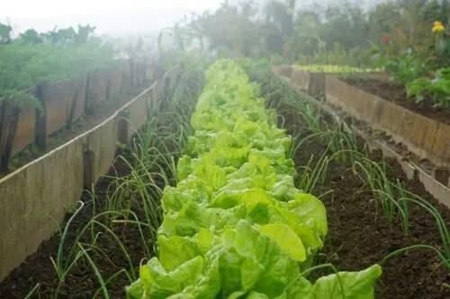 10 Garden Vegetables You Must Always Grow (Backyard Garden)