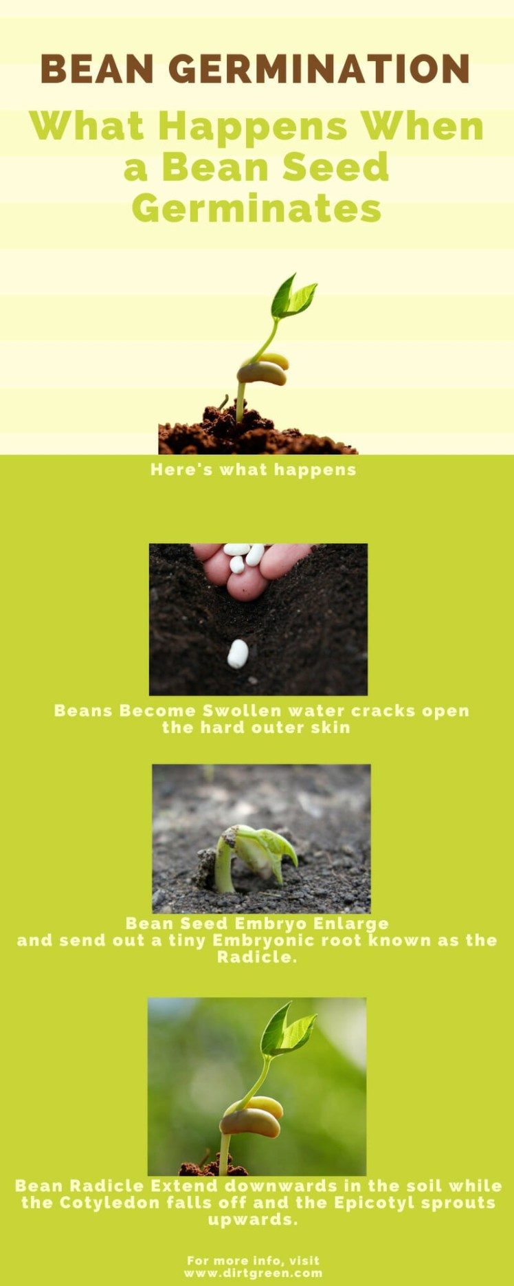 How Long Bean Seed Take To Germinate