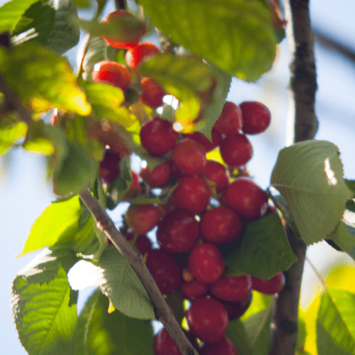 Sweet Cherry Trees