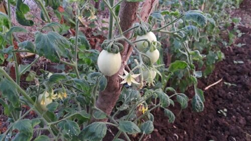 Why Garden Tomatoes Taste Better Than Store Bought?
