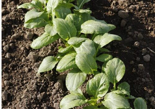 How Long Bok Choy Seed Take To Germinate? (Planting Guide)