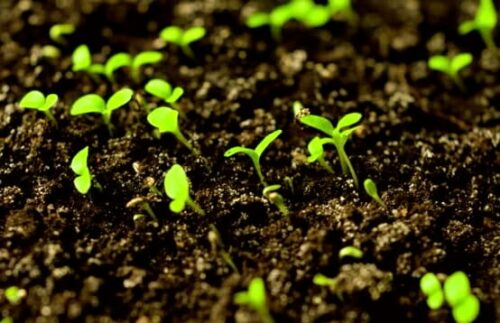 How Long Does It Take Lettuce Seed To Germinate?