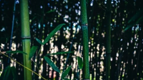 How To Grow Bamboo Trees The Right Way In The Yard?