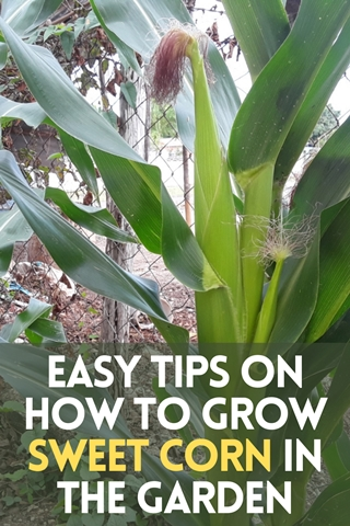 Easy Tips On How To Grow Sweet Corn In The Garden