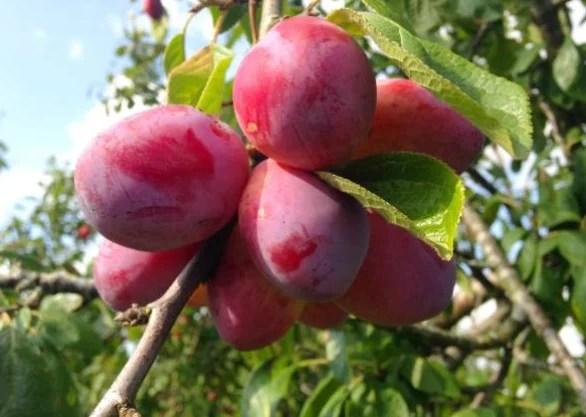 Top 7 Dwarf Fruit Trees That Don't Grow Big For Backyard