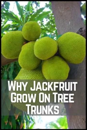 Why Jackfruit Grow On Tree Trunks