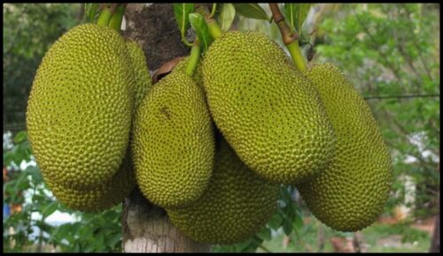 Why Jackfruit Grow On Tree Trunks And Not The Branches?
