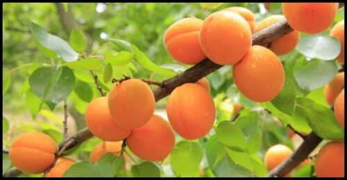 Fruit Trees That Produce fruits The Fastest In The Yard