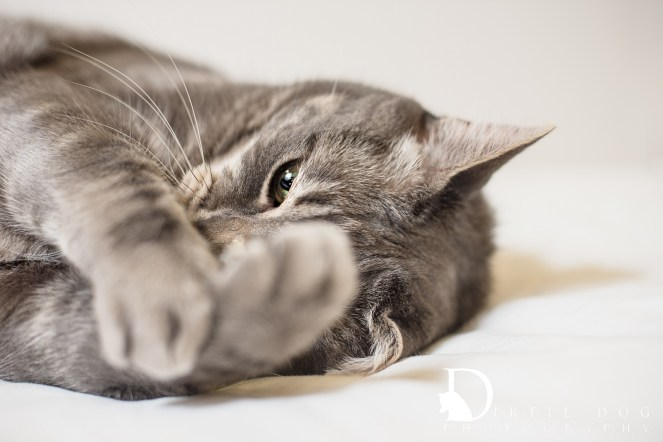 This detail portrait of my first #WhynotMEpets cat sessions is one of my favorite captures. Seattle pet photography. www.dirtiedogphotography.com