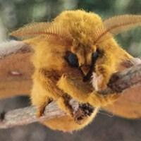 Io Moth Emerges