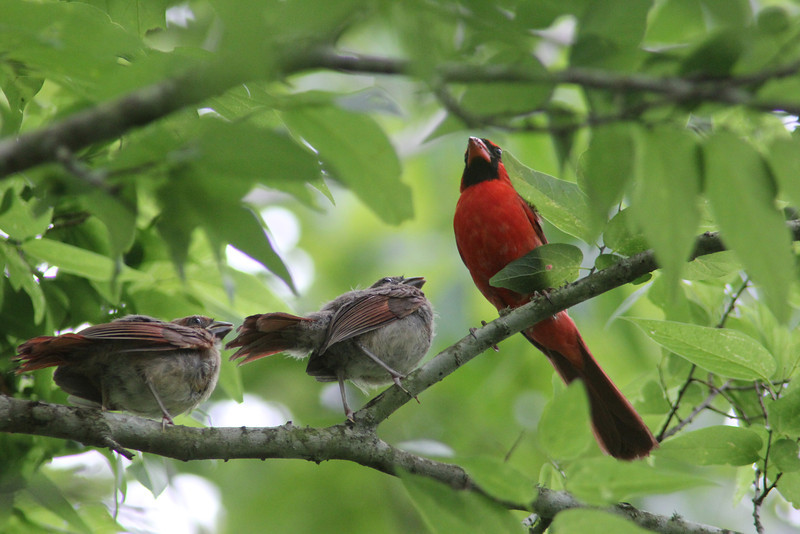 Daddy Cardinal and Recent Fledges