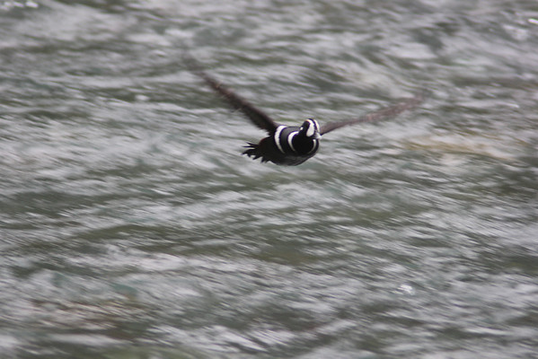 Harlequin Duck (Here he comes!)