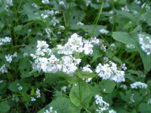 Buckwheat, Fagopyrum esculentum, in flower.