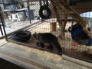 This is a bear cub that was bred at the bear zoo.
