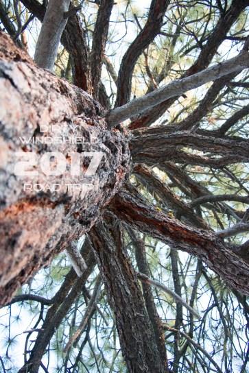 Epic Trees in Yosemite