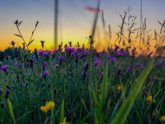 A field of wildflowers with the sun setting in the background