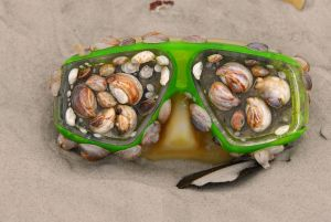 A colony of limpets attached to a diving mask, found washed ashore on a beach. Photo by Andrea Westmoreland from DeLand, United States. CC BY-SA 2.0)