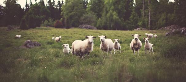 sheep-on-pasture-1493396725qgv.jpg