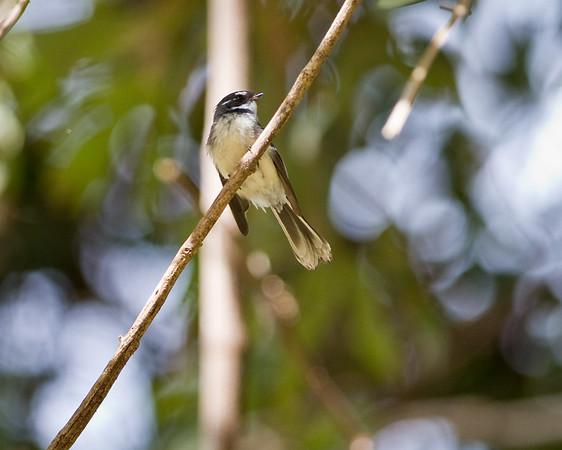Birds & Nature - North Maleny & Obi Obi Creek - Sunshine Coast Hinterland, Queensland, Australia; Saturday 21 May 2011. Photos by Des Thureson:  http://disci.smugmug.com