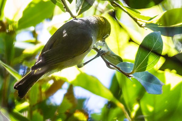 Silvereye (Zosterops lateralis) - Birds & Dragons - Burleigh Heads National Park, Wednesday 4 January 2012, Gold Coast, Queensland, Australia. Photos by Des Thureson: http://disci.smugmug.com