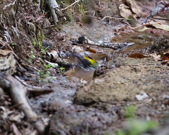 Eastern Yellow Robin (Eopsaltria australis) - Dilkusha Nature Reserve - Birds & Flowers, Maleny, Sunshine Coast Hinterland, Queensland; 8 June 2013. Photos by Des Thureson