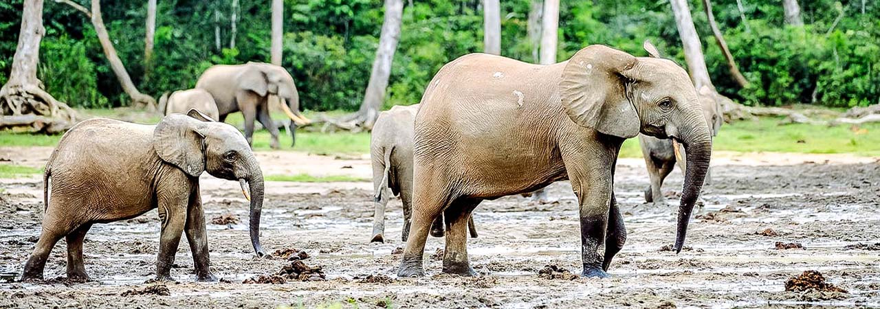 Loxodonta (from greek λοξός, loxós: The Fascinating Forest Elephant Discover Afrika