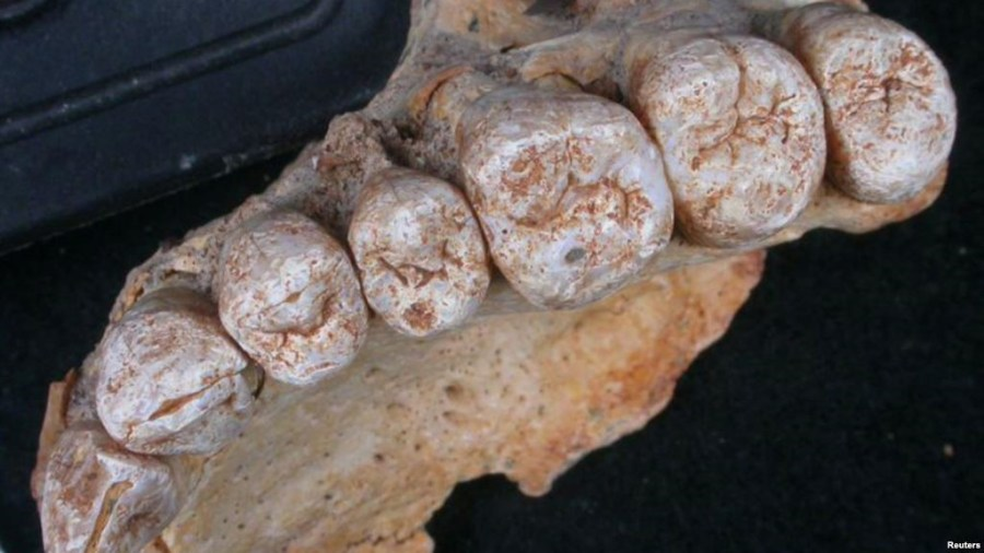 A close-up view of the teeth accompanying the left maxilla of human remains from Misliya Cave in Israel, the oldest remains of our species Homo sapiens found outside Africa, is provided in this photo released, Jan. 25, 2018.