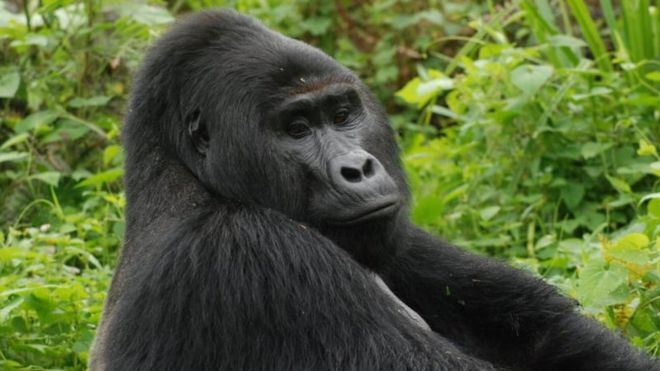 Killer of Rafiki, Uganda's rare silverback mountain gorilla, jailed for 11 years