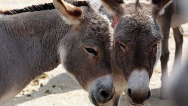 The use of donkey hides in Chinese traditional medicine has seen Africa's donkey population fall dramatically in the last two decades.