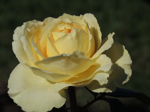 Gladney_Rose_Garden_Incrocci02