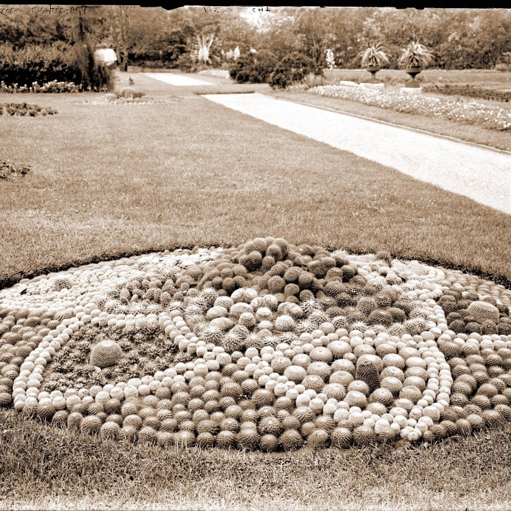 Mamillaria bed in parterre of the Missouri Botanical Garden (1905)