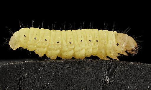 Wax_worm,_U,_Maryland,_side_2015-07-13-13.01.17_ZS_PMax