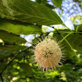 Buttonbush (Cephalanthus occidentalis) Photo by Tyler Prestien