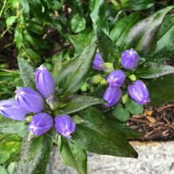Bottle gentian (Gentiana Andrewsii) Photo by Tyler Prestien