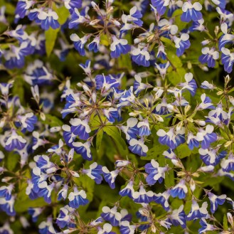 Blue-eyed Mary (Collinsia verna) Photo by JJ Mueller