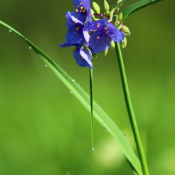 Ohio spiderwort (Tradescantia ohiensis) Photo by Bailie Fischer
