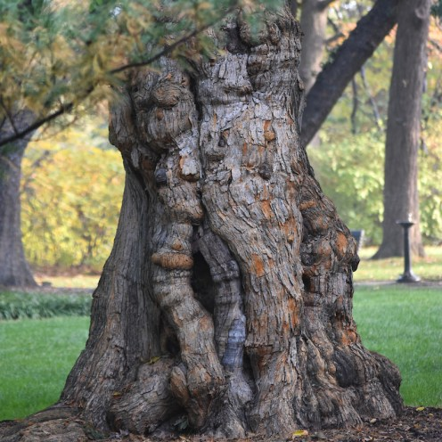 An Osage orange tree at the Missouri Botanical Garden. Photo by Sundos Schneider.