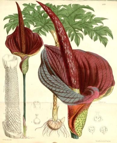 Amorphophallus konjac from Curtis's Botanical Magazine.