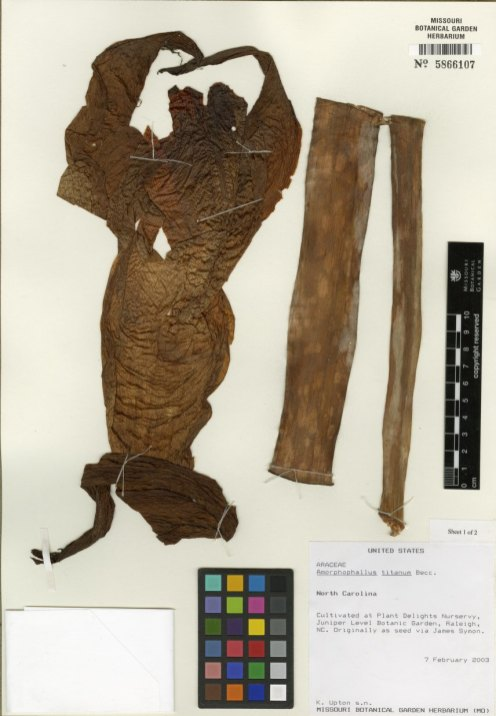 An herbarium specimen from a titan arum bloom.