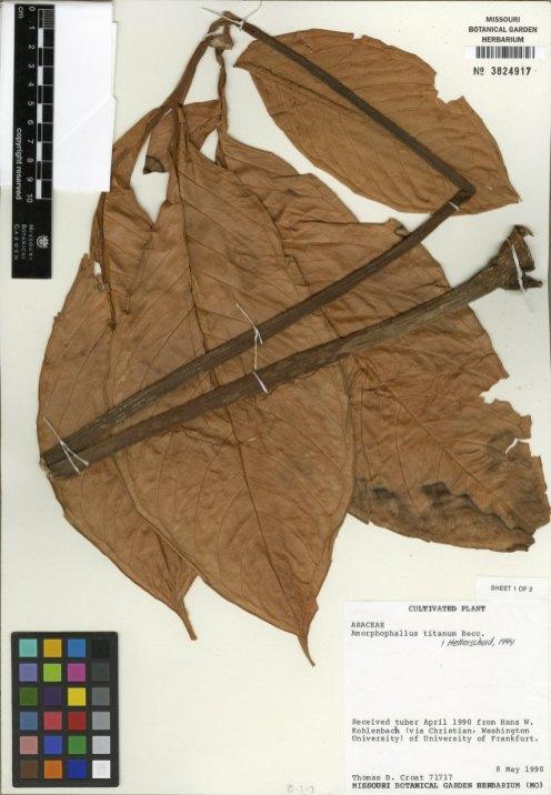 An herbarium specimen from a titan arum leaf.
