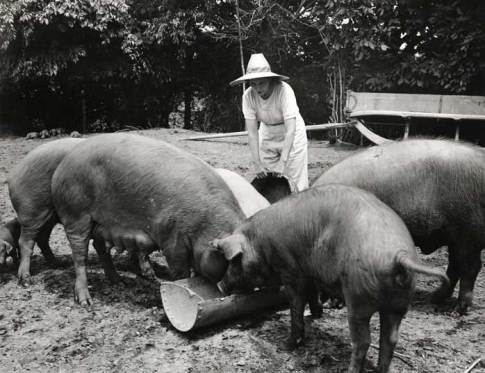 Women Farming – Woman Feeding Hogs
