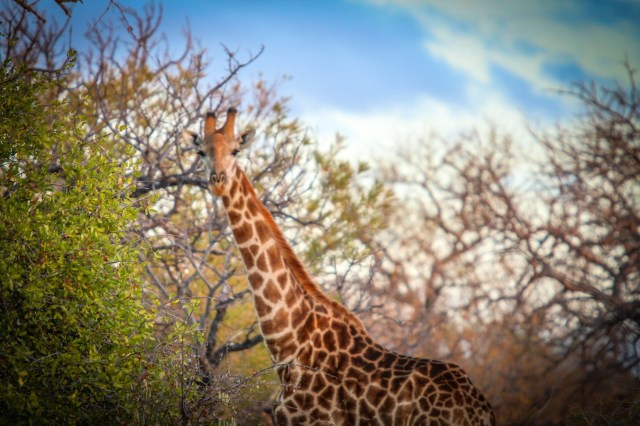 Wild Rivers Nature Reserve Giraffe