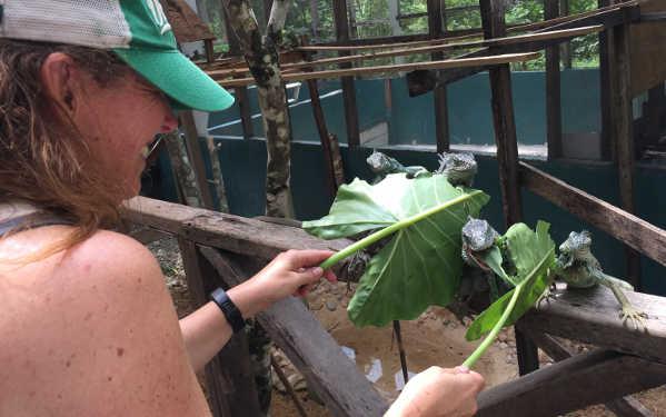 feeding iguanas in belize