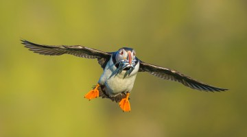 Wildlife Photography and Skomer Island with Drew Buckley