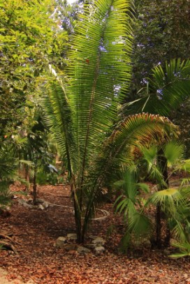 There are 20 different kinds of palmae in the yucatan peninsula and 15 of them are part of this parks collecton that includes this Corozo palm